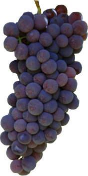 Sangiovese druiventros kenmerken